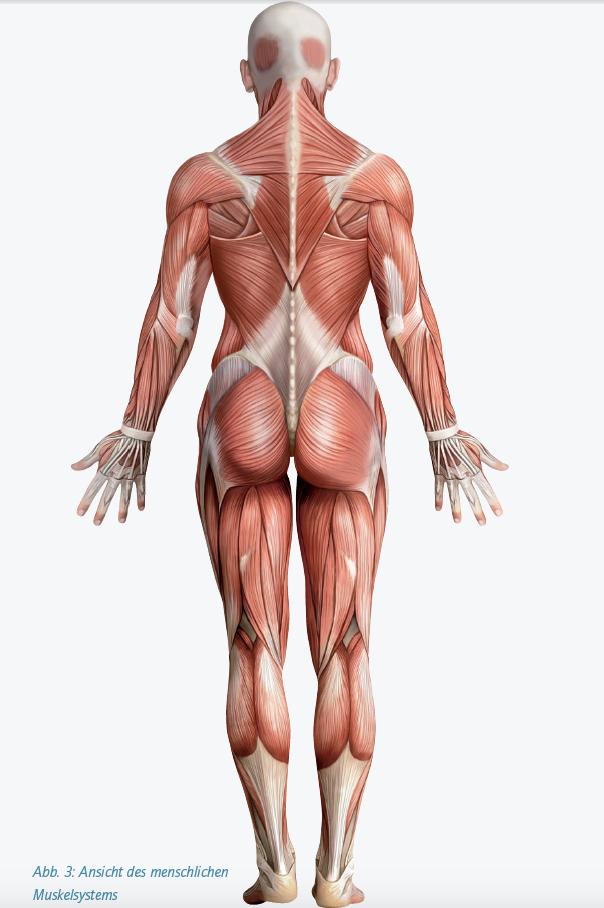 Functional Training erklärt - Die Muskulatur - DeinFitnesscoach.com